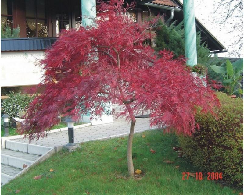 Szeldelt vöröslevelű japán juhar törzsön