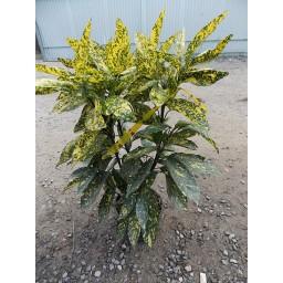 Japán babérsom Crotonifolia