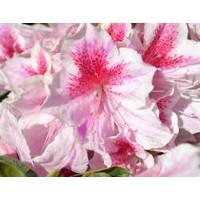 Azálea Occhio de Pernice - fehér-rózsaszín cirmos