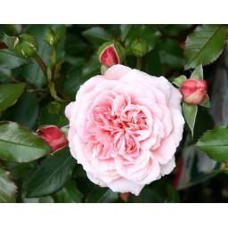 Rózsa Botticelli