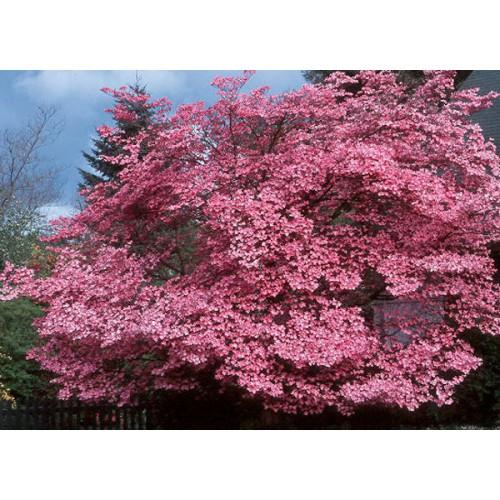 Virágos som Cherokee Sunset