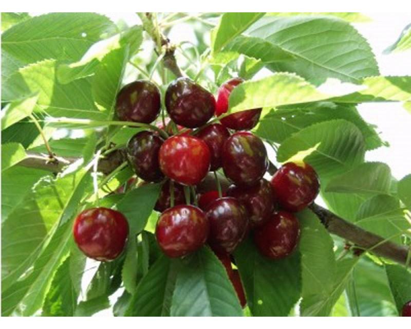 Germensdorfi 3 cseresznyefa