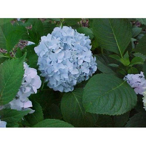 Kerti hortenzia Nikko Blue - kék