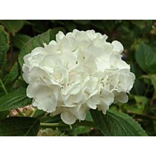 Kert hortenzia - fehér
