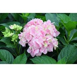 Kerti hortenzia - rózsaszín