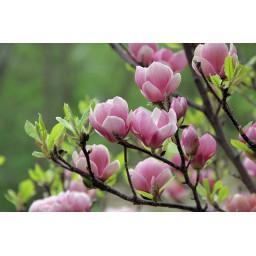 Nagyvirágú magnólia / liliomfa