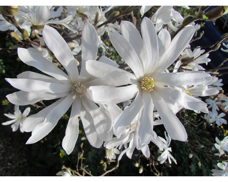 Csillagvirágú magnólia / liliomfa