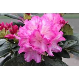 Rhododendron / Havas szépe Blurettia