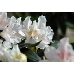 Rhododendron / Havas szépe Cunningham s White