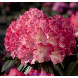 Rhododendron / Havas szépe Fantastica