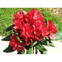 Rhododendron / Havas szépe Nova Zembla