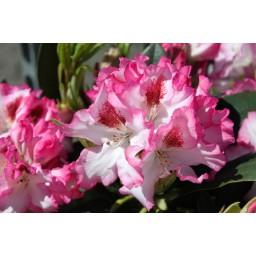 Rhododendron / Havas szépe Hachmann Charmant