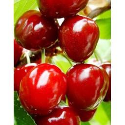 Stella cseresznyefa